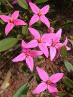 Boronia fraseri x mollis - Telopea Valley Star